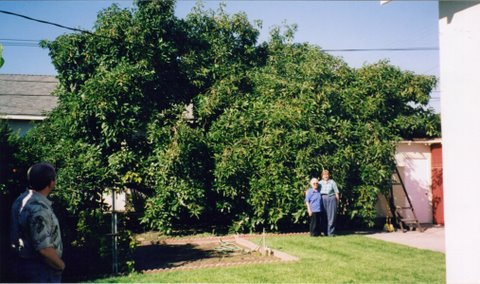 Grandma's Avocado tree