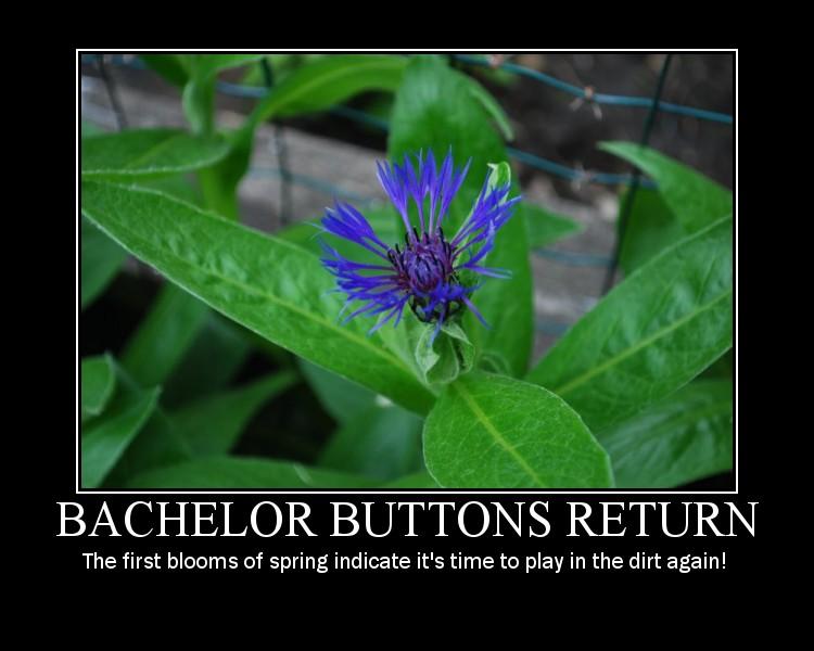 Bachelor Buttons