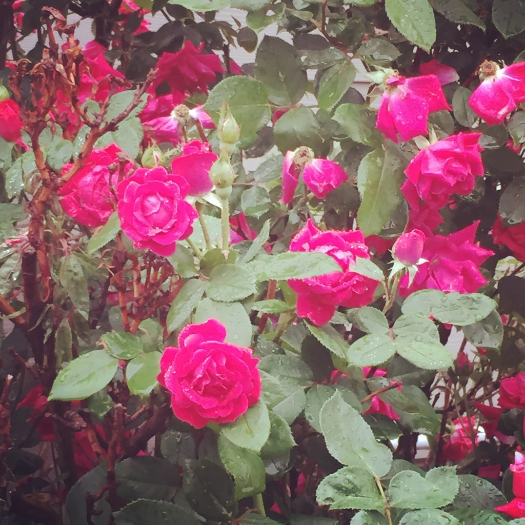 Rain-kissed rosebuds in the drive-thru for my morning iced coffee